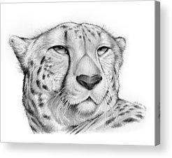 Cheetah Drawings Acrylic Prints
