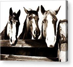 Horse Mane Acrylic Prints