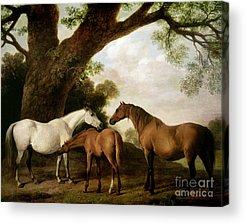 Brown Horse Acrylic Prints