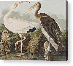 Ibis Acrylic Prints