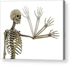Anatomical Position Acrylic Prints