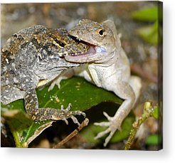 Brown Anole Acrylic Prints