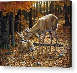 Baby Deer Acrylic Prints