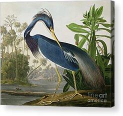 Herons Acrylic Prints