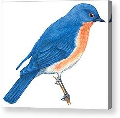 Bluebird Drawings Acrylic Prints