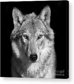 Canis Lupus Acrylic Prints
