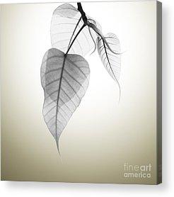 Spring Branch Acrylic Prints