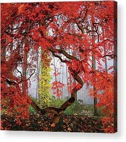 Japanese Maple Acrylic Prints