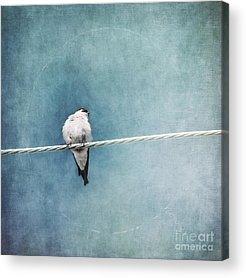 Swallow Acrylic Prints