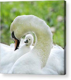 Baby Swan Photographs Acrylic Prints