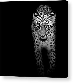 Predators Acrylic Prints