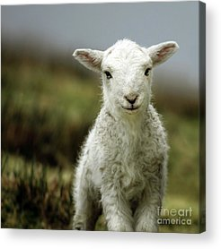 Sheep Acrylic Prints