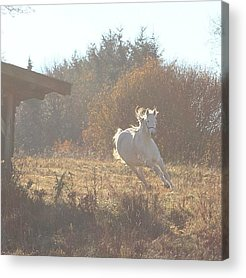 Pferd Acrylic Prints