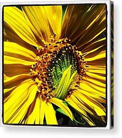 Sunflowers Acrylic Prints