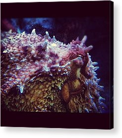 Octopus Acrylic Prints