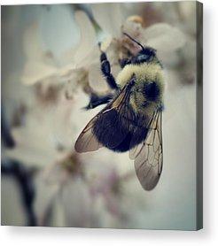 Bumble Bee Acrylic Prints