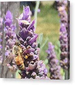 Lavender Acrylic Prints