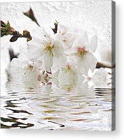 Cherry Blossoms Photographs Acrylic Prints