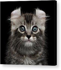 Kitten Acrylic Prints