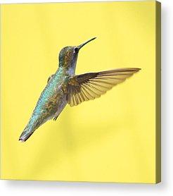 Yellow Bird Acrylic Prints
