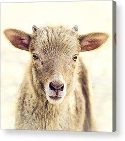 Lambs Acrylic Prints