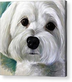 Maltese Puppy Acrylic Prints