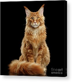 Angry Cat Acrylic Prints