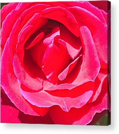 Roses Acrylic Prints
