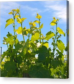 Wine Acrylic Prints