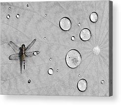 Dragonfly Acrylic Prints