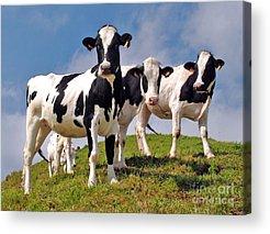 Cow Acrylic Prints