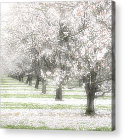 Art print POSTER Espaliered Apple Tree in Blossom