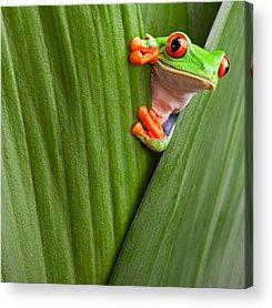 Red Eyed Tree Frog Acrylic Prints
