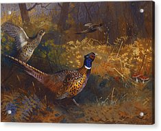 A Cock And Hen Pheasant At The Edge Of A Wood Acrylic Print by Archibald Thorburn