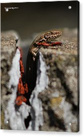 Acrylic Print featuring the photograph  A Lizard Emerging From Its Hole by Stwayne Keubrick