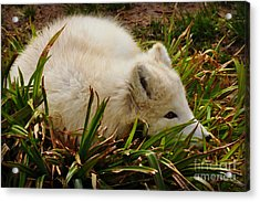 Acrylic Print featuring the photograph  A White Fox by Mindy Bench