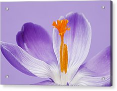 Abstract Purple Crocus Acrylic Print