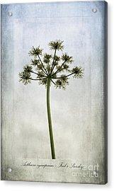 Aethusa Cynapium Acrylic Print by John Edwards