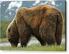 Alaska Grizzly Acrylic Print