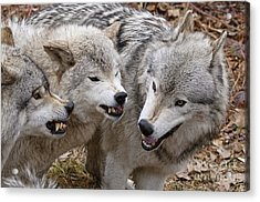Acrylic Print featuring the photograph  Alpha Displeasure 2 by Wolves Only
