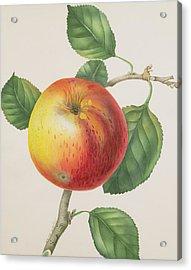 An Apple Acrylic Print by Elizabeth Jane Hill