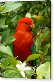 Acrylic Print featuring the photograph  Aussie King Parrot by Margaret Stockdale