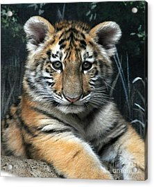 Bengal Tiger Cub Im The Baby Acrylic Print