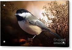 Black Capped Chickadee Acrylic Print by Elaine Manley