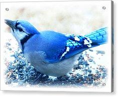 Bright Blue Jay  Acrylic Print