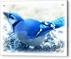 Bright Blue Jay  Acrylic Print by Peggy Franz