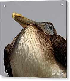 Acrylic Print featuring the photograph  Brown Pelican  by Bob and Jan Shriner