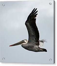 Brown Pelican In Flight Acrylic Print