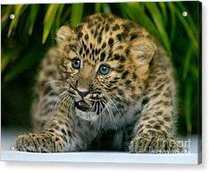 Cheetah Cub Im Gonna Getcha Acrylic Print