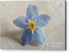 Myosotis 'forget-me-not'- Single Flower Acrylic Print